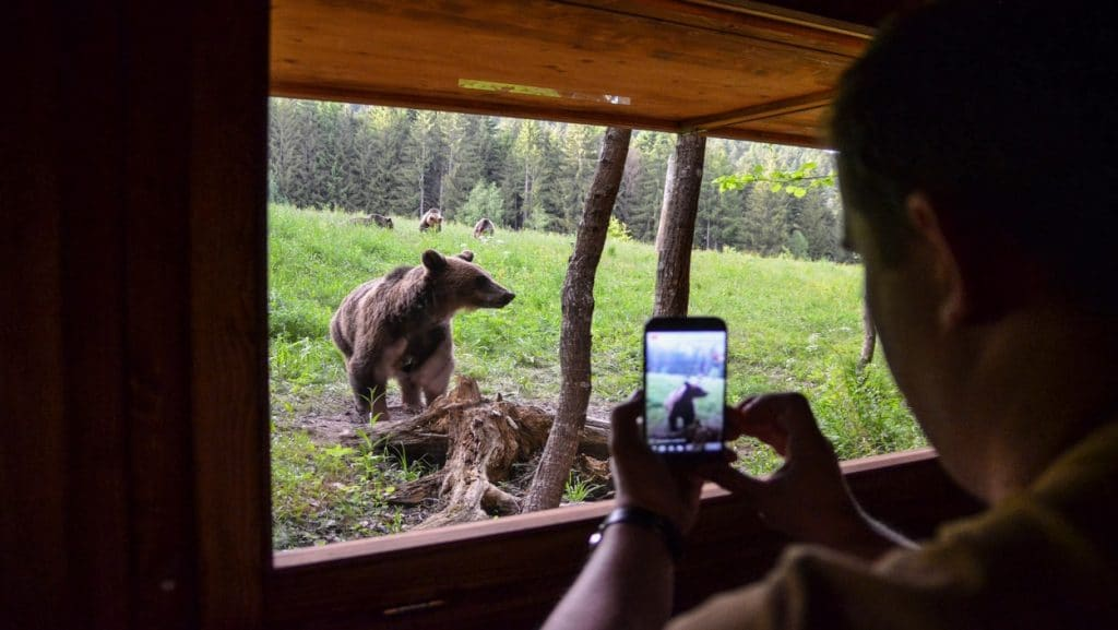 Bear Watching in the Romania