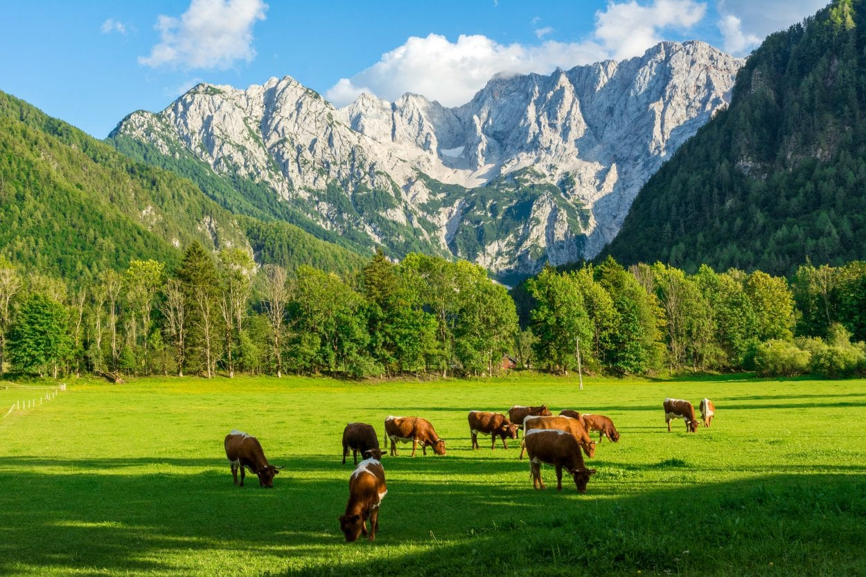 Cow farm in Jezersko