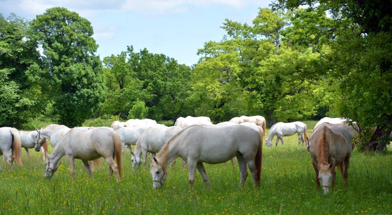 Lipizzaner horses grazing in Lipica stud farm