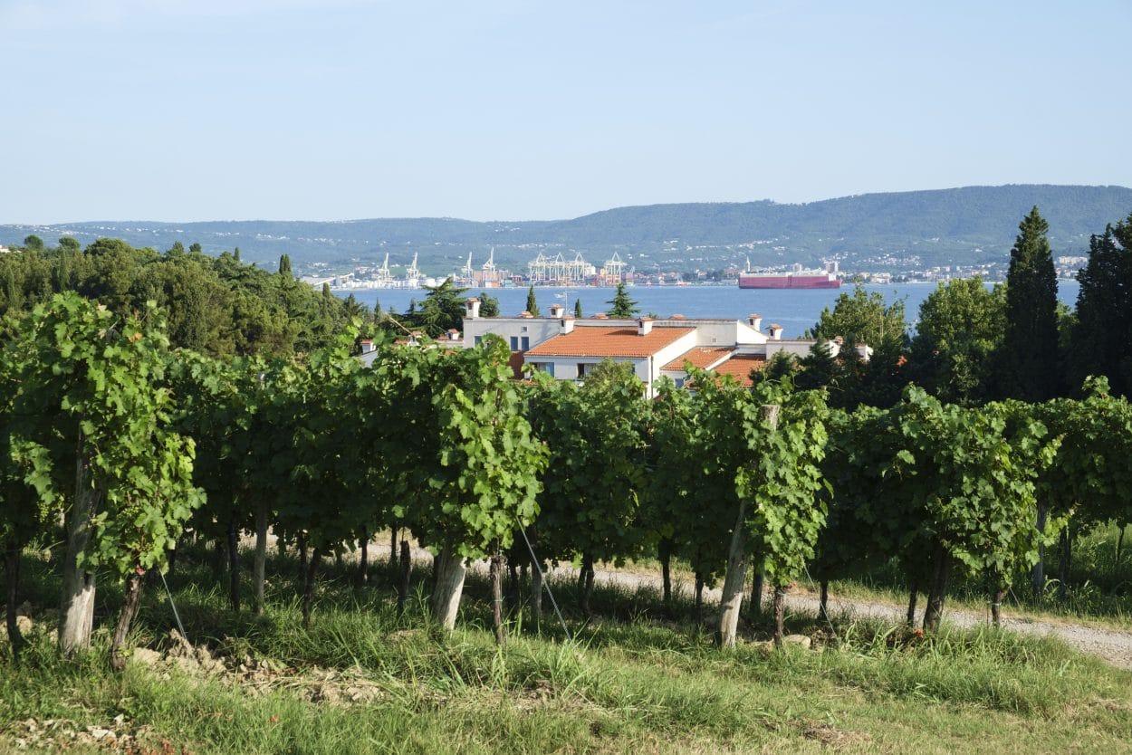 Vineyards on the Slovenian Coast