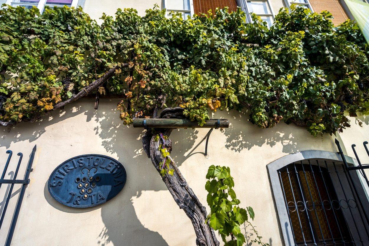 Récord Guinness de la vid más antigua del mundo Maribor